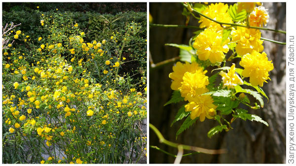 Цветет керрия японская Махровоцветковая, фото автора