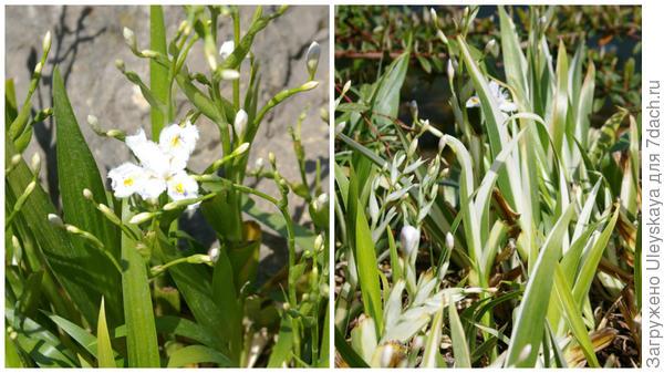 Начало цветения ириса японского и его пестролистной формы, фото автора