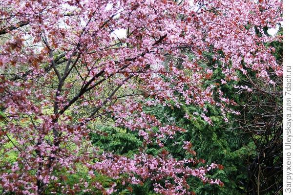 Цветет слива Писсарда, фото автора