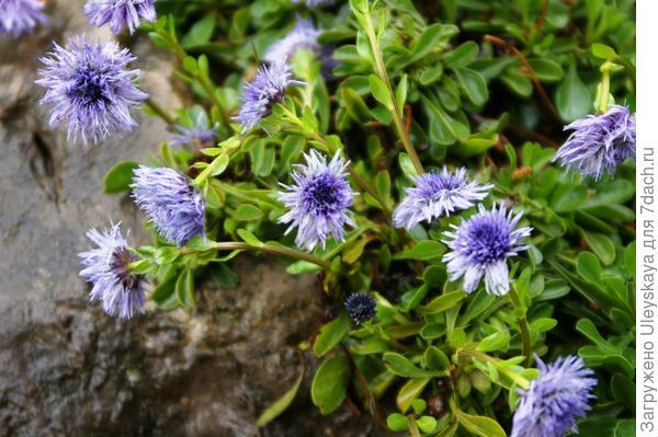Цветет шаровница, фото автора