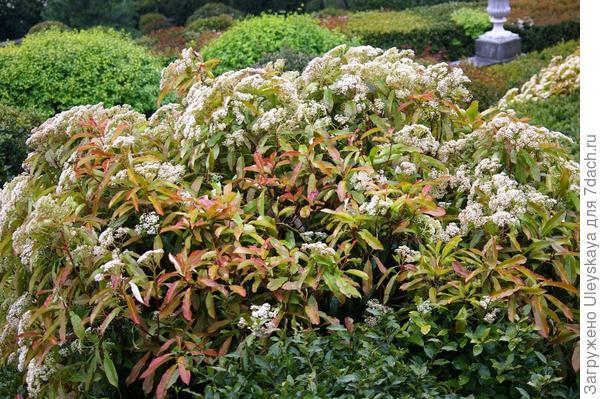 Фотиния пильчатая - цветущий кустарник, фото автора