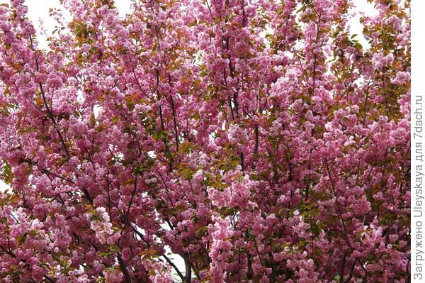 Цветет сакура, фото автора