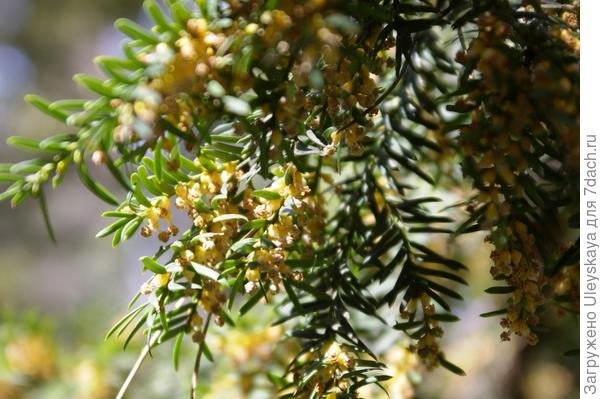 Цветет головчатый тис Форчуна, фото автора