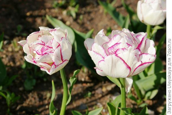 Тюльпан садовый сорт Belicia, фото автора