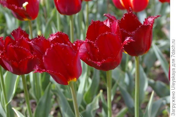 Тюльпан садовый сорт Black Jewel, фото автора