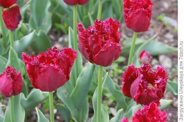 Тюльпан садовый сорт Barbados, фото автора