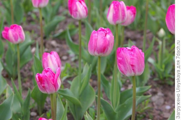 Тюльпан садовый сорт Flash Point, фото автора