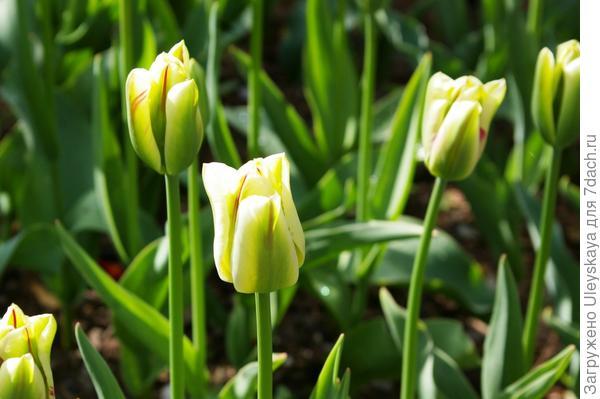 Тюльпан садовый сорт Flaming Spring Green, фото автора