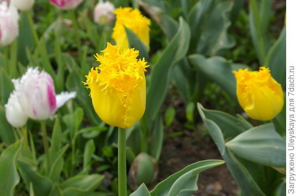 Тюльпан садовый сорт Crispy Mary, фото автора