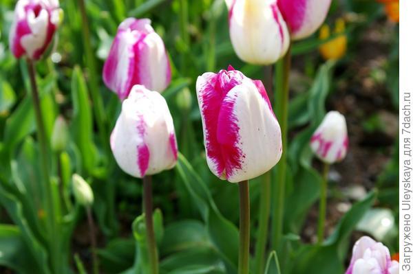 Тюльпан садовый сорт Hotpants, фото автора