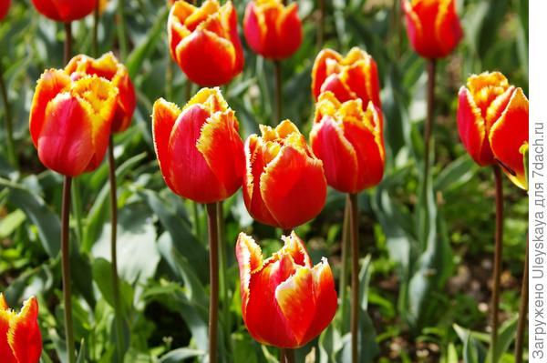 Тюльпан садовый сорт Joint Division, фото автора