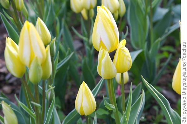 Тюльпан садовый сорт Antoinette, фото автора