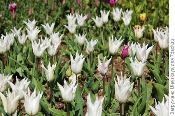 Самые изящные - белые тюльпаны из садового класса Лилиецветных, фото автора