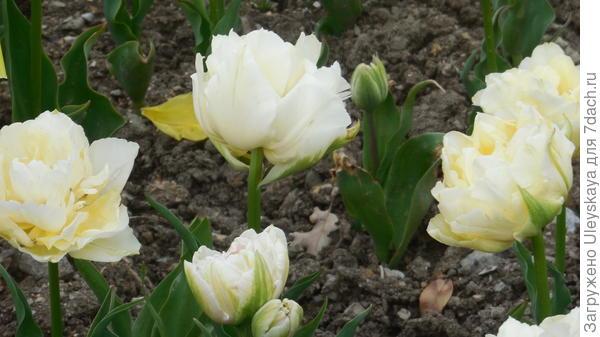 Тюльпан садовый сорта Verona