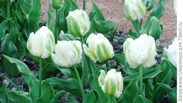 Тюльпан садовый сорта Madonna