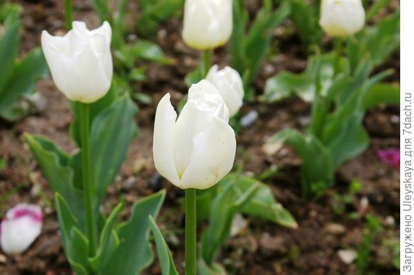 Тюльпан садовый сорта Cheers