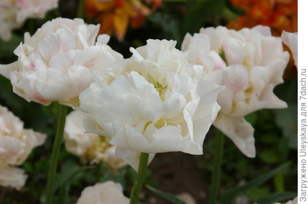 Белые махровые тюльпаны издалека похожи на пионы, фото автора