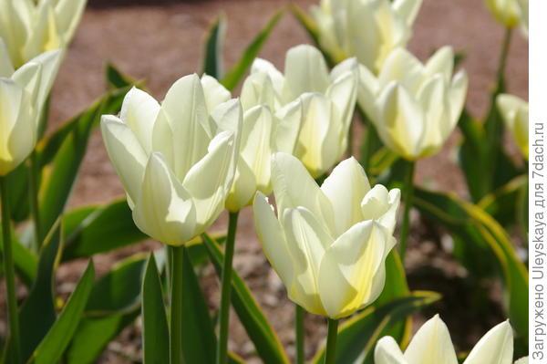Тюльпан садовый сорта Purissima Design