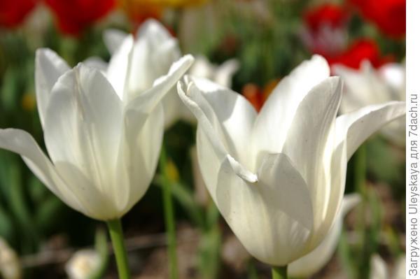 Тюльпан садовый сорта Жемчужный
