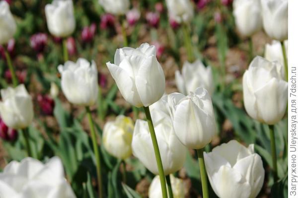 Тюльпан садовый сорта Bolroyal Silver