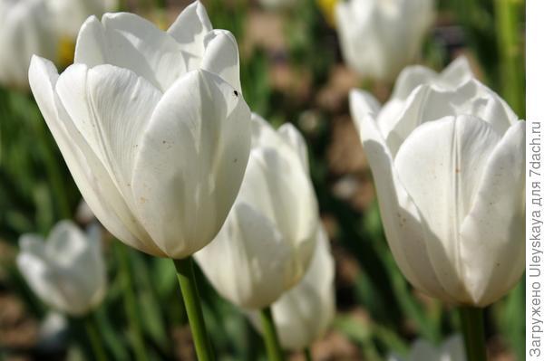 Тюльпан садовый сорта Snow Board