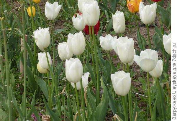 Тюльпан садовый сорта Maureen