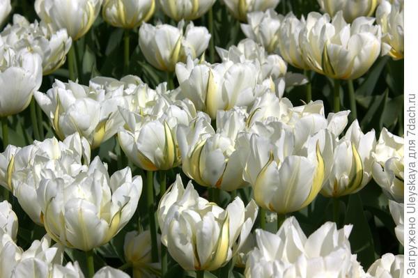 Тюльпан садовый сорта Up White