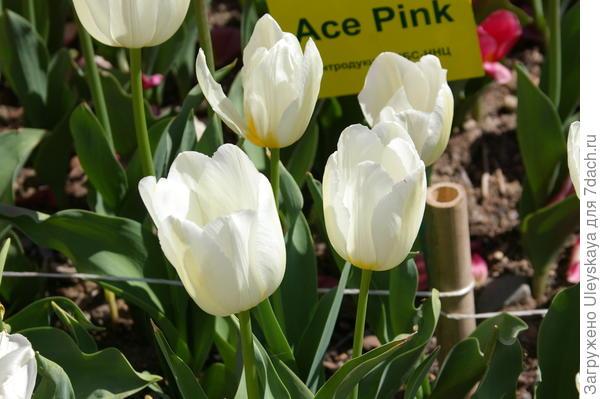 Тюльпан садовый сорта Francoise