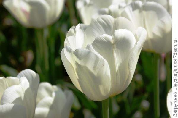 Тюльпан садовый сорта Antarctica, фото автора