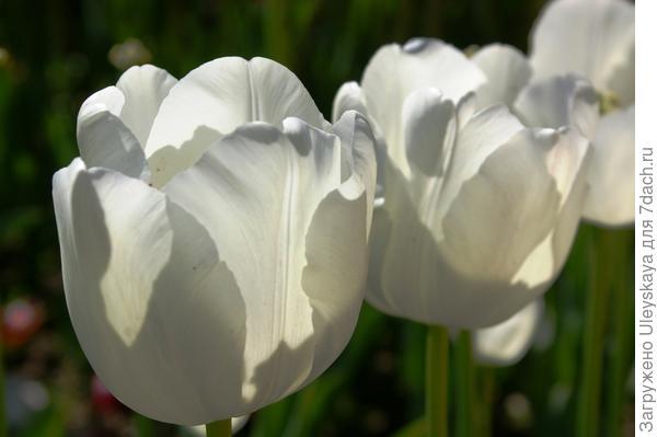 Тюльпан садовый сорта Albatros, фото автора