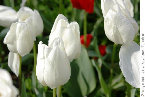 Тюльпан садовый сорта Darwisnow