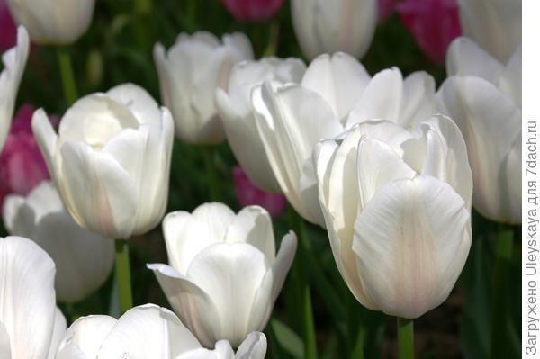 Тюльпан садовый сорта Snowhill