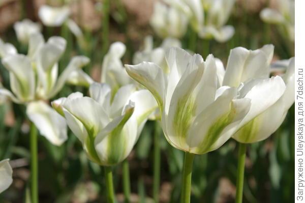 Тюльпан садовый сорта Spring Green
