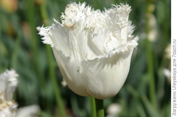 Тюльпан садовый сорта Smirnoff