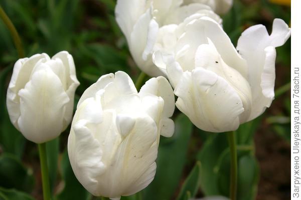Тюльпан садовый сорта White Parrot
