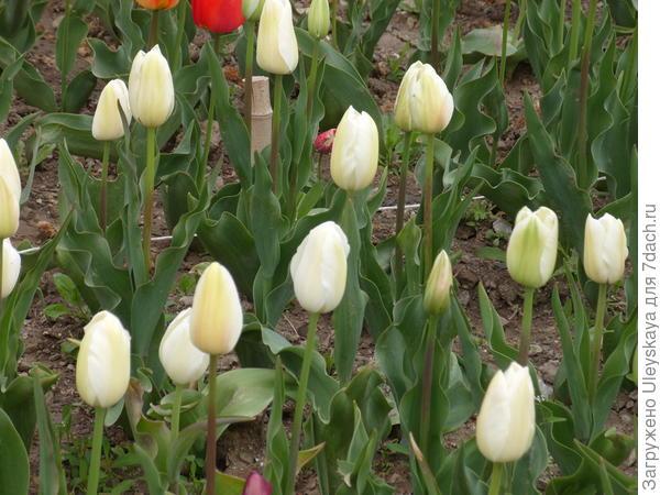 Тюльпан садовый сорта Catherina