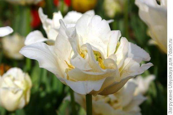 Тюльпан садовый сорта Silk Road