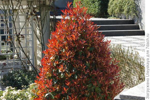 Необыкновенно хороша - фотиния Фразера Red Robin
