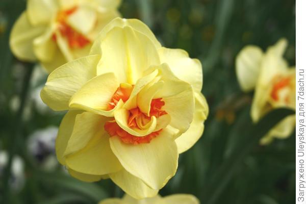 Нарцисс садовый сорт Tahiti, фото автора