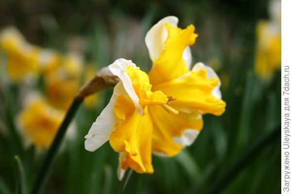 Нарцисс садовый сорт Orangery, фото автора
