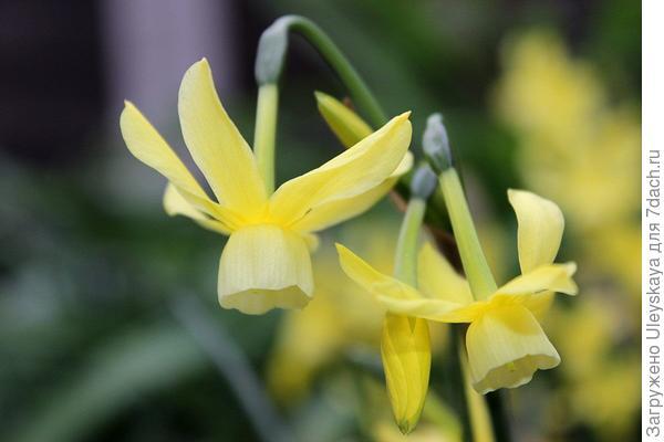 Нарцисс садовый сорт Hawera. Фото с сайта yhst-27104608415819.stores.yahoo.net