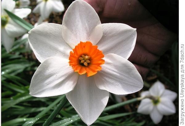 Нарцисс садовый cорт Rockall. Фото с сайта daffseek.org
