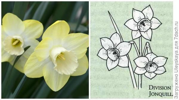 Нарцисс садовый сорт Step Forward Фото с сайта semiramisgardens.ru. Цветок-эталон 7 группы, рисунок Encyclopedia of garden plants