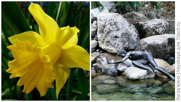Нарцисс садовый сорт Golden Harvest, цветок крупным планом. Фото с сайта 63pokupki.ru. Влюбленный в себя Нарцисс, скульптура в парке Айвазовское, фото автора.