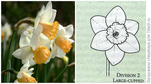 Нарцисс садовый сорт Salome, фото автора и цветок-эталон 2 группы, рисунок Encyclopedia of garden plants