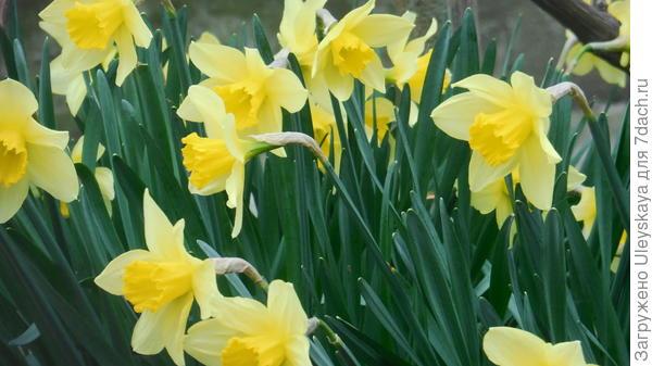 Трубчатые нарциссы весной