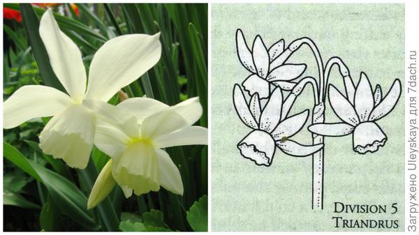 Нарцисс садовый сорт Thalia, фото автора. Цветок-эталон 5 группы, рисунок Encyclopedia of garden plants