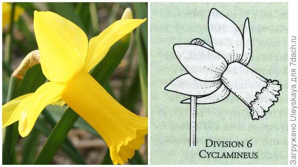Нарцисс садовый сорт Baby Dole. Фото с сайта daffseek.org. Цветок-эталон 6 группы, рисунок Encyclopedia of garden plants