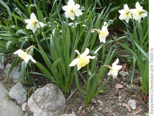Нарциссы в весеннем цветнике