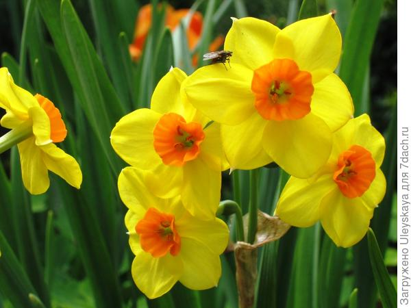 Нарцисс садовый сорт Scarlet Gem